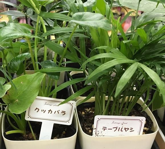 100均観葉植物1